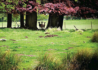 Photo of Deer in Sherwood Forest - near The Sherwood Hideaway Lodges in Nottinghamshire UK